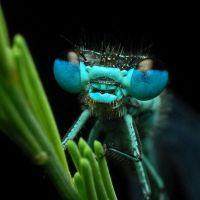dragonfly by dimgray