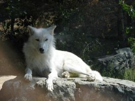 White wolf by MTaylorPhotography