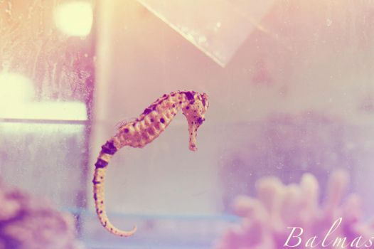 Sea Horse by buthy-13