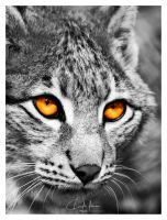 The hunter's eyes by PhotographyChris