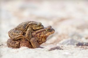 Toads by Justysiak