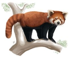 Another Red Panda by akelataka