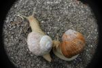 Weinbergschnecken / Vineyard Snails by bluesgrass