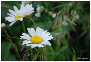 Daisies II by mythicillusions