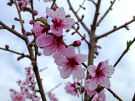 Blossoms in the Bare by Haradria