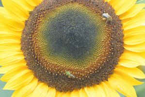 Pollen Station, Bees and Sunflower 5 by Miss-Tbones