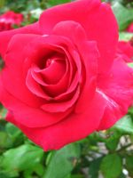 Red Rose by my-dog-corky