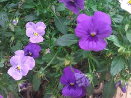 Purple pansies by demonlucy