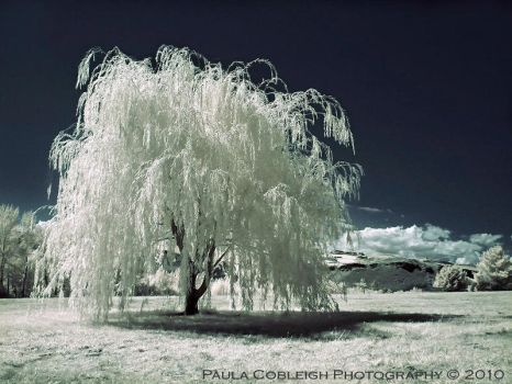 The White Willow by La-Vita-a-Bella