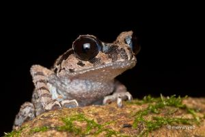 Black-eyed Litter Frog by melvynyeo
