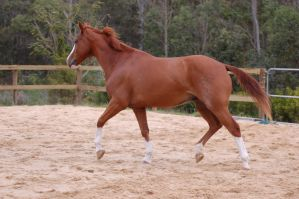 ASH - Trot roan patch on quart by Chunga-Stock
