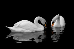 Swan Reflections by waspo