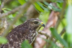Red shouldered hawk hiding in a bush by CyclicalCore