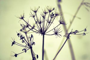 Old flower in the coldness by PoetBanana