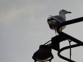 Seagull on the Ferry by Barghest1031