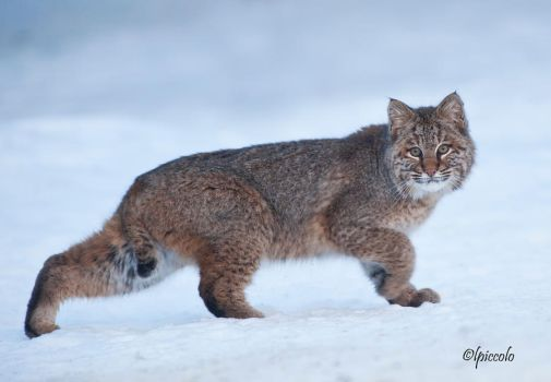 Bobcat in the Snow by Les-Piccolo