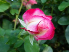 Magenta and White Rosebud by ShipperTrish