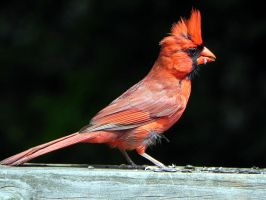 male cardinal by Lou-in-Canada