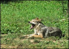 Canis lupus baileyi by StormPetral0509