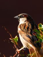 Just a Sparrow by WestLothian