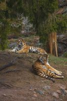 Relaxing tigers by perost