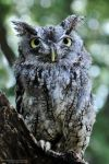Eastern Screech Owl II by Chaotic-Chelly