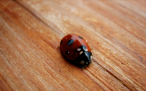 Lady Bug on wood by Appl3ju1ce