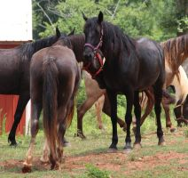 Multiple Horses 22 by MountainViewStock
