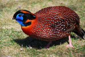 Mr. Blue Face the Tragopan by FallingClockwise