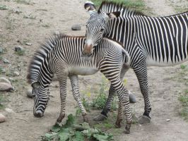 Stripes (Zebra mother and young) by elphabaevitaeponine