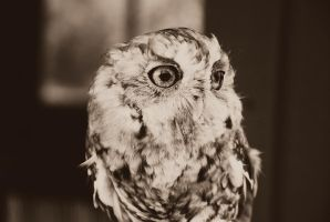 Eastern Screech Owl by Vicarious-Trances
