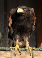 Harris Hawk Stock 2 by LRG-Photography