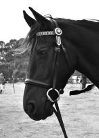 Friesian Profile by EquusAustralia