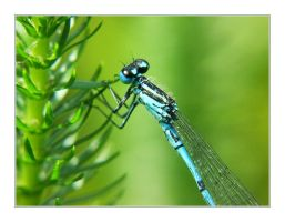 blue dragonfly by jtd