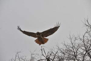 Red Tail Hawk STock by JSF1