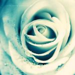white rose . .. by light-from-Emirates