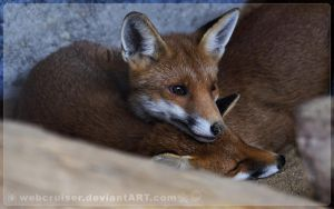two little red foxes by webcruiser