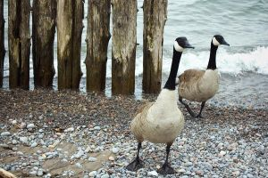 A Couple of Geese by igorsky