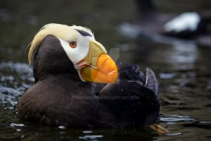 Tufted Puffin by ribbonworm