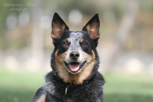 Cattle Dog Portrait by Deliquesce-Flux