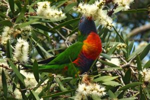 A Lorikeet's Lunch by tuftedpuffin