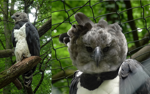 Harpy eagle by Aewendil