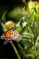 Monarch Butterfly by courtneytartan