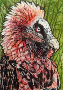 Red bearded Vulture ACEO by Dustywallpaper