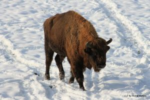 Wisent / European Bison 3 by bluesgrass