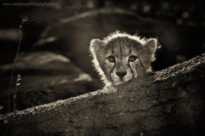 Small tiger by AL-AMMAR