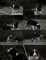 Collie Dogs 14 by Tasastock