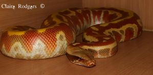 Our Frankie  a red blood python (vpi t+ albino) by MaliskaRodgers