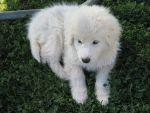 Fluffy White Puppy by DragonQueen13666