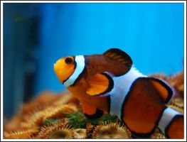 Clown Fish by Belafon